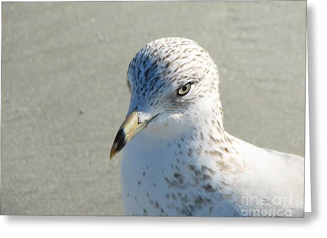 Tern Greeting Cards - Seagull Portrait Greeting Card by Sabrina Wheeler
