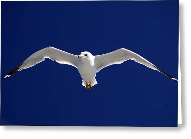 Seabirds Greeting Cards - Seagull In Flight Greeting Card by John Turner