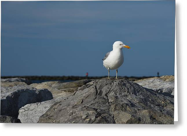 Migratory Bird Greeting Cards - Seagull Greeting Card by Jennifer Lyon