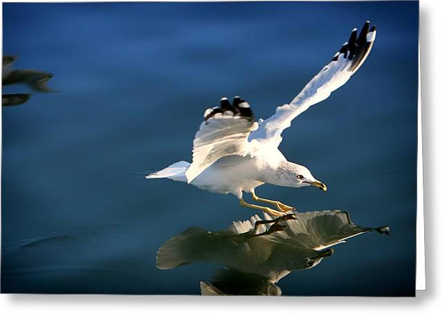 Plunging Greeting Cards - Seagull Landing Reflection Greeting Card by Leeroy