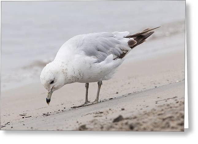 Seabirds Photographs Greeting Cards - Seagull on foggy beach Greeting Card by Elena Elisseeva