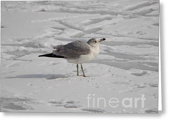 Wintry Greeting Cards - Seagull on the Frozen Pond Greeting Card by Jari Hawk