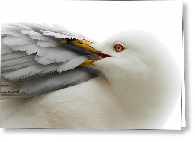 """""""yellow Eyes"""" Greeting Cards - Seagull Pruning his Feathers Greeting Card by Keith Allen"""