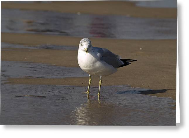 Tara Lynn Greeting Cards - Seagull Standing Greeting Card by Tara Lynn
