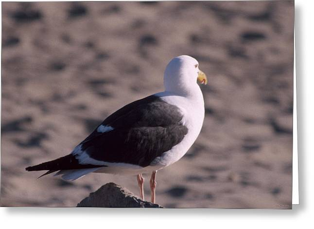 Seagull - Ventura Beach Greeting Card by Soli Deo Gloria Wilderness And Wildlife Photography
