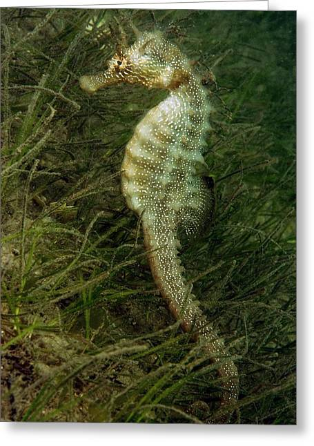 Bony Fish Greeting Cards - Seahorse Greeting Card by Louise Murray