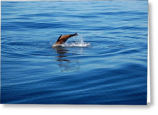 California Sea Lions Greeting Cards - Seal in the Water Greeting Card by Carla Menjivar