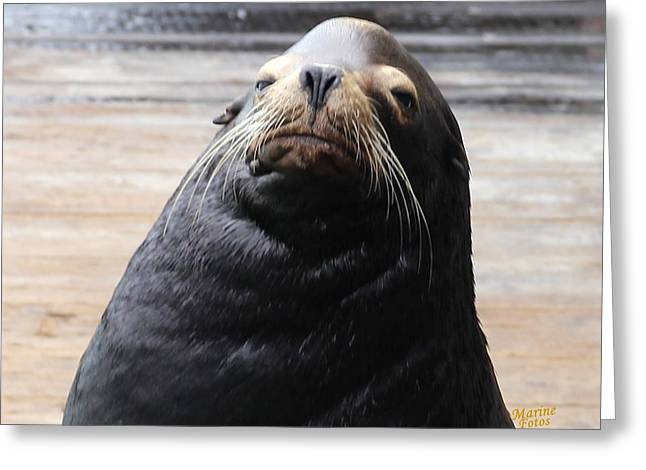 California Sea Lions Greeting Cards - Seal Lion Bull Face Greeting Card by Gary Canant
