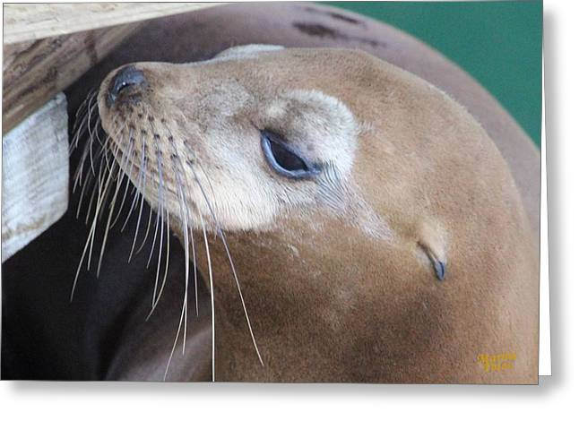California Sea Lions Greeting Cards - Seal Lion Female Greeting Card by Gary Canant