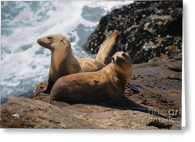 Sealions Greeting Cards - Sealions Greeting Card by Marc Bittan