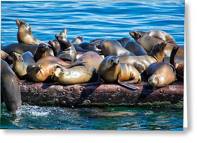 California Sea Lions Greeting Cards - Sealions on a Floating Dock Another View Greeting Card by Anthony Murphy