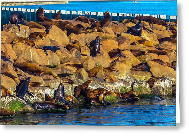 Seals On Jetty Rocks Greeting Card by Garry Gay