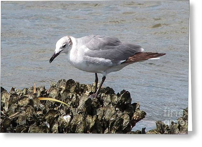 Water Fowl Greeting Cards - Searching the Oysters Greeting Card by Gina Welch