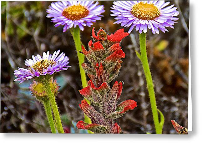 Seaside Daisy And Paintbrush In Point Lobos State Reserve Near Monterey-california Greeting Card by Ruth Hager