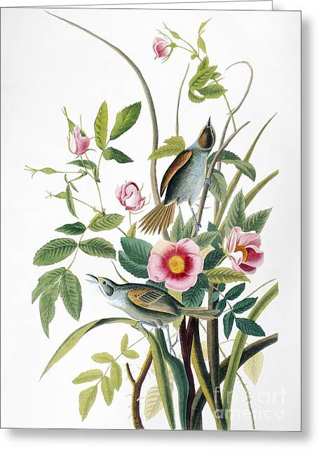Artflakes Greeting Cards - Seaside Sparrow, 1858 Greeting Card by Granger