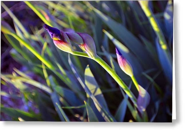 Abstract Digital Photographs Greeting Cards - Second Iris Blooms 2015 Greeting Card by Tina M Wenger