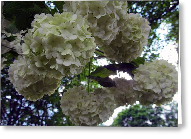 Indiana Flowers Greeting Cards - Second To The Last Hydrangeas Greeting Card by Tina M Wenger