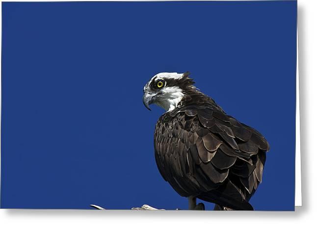 Osprey Florida Greeting Cards - See No Evil Greeting Card by Evelina Kremsdorf