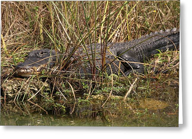 South West Florida Greeting Cards - See you later Alligator Greeting Card by Juergen Roth