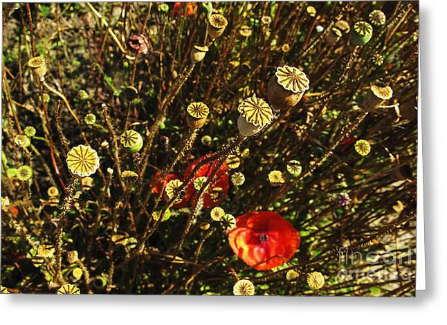 Kim Photographs Greeting Cards - Seed House Stars Greeting Card by Kim Lessel