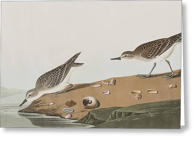 Sandpipers Greeting Cards - Semipalmated Sandpiper Greeting Card by John James Audubon