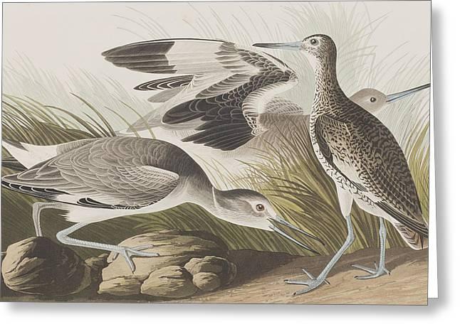 Audubon Drawings Greeting Cards - Semipalmated Snipe or Willet Greeting Card by John James Audubon