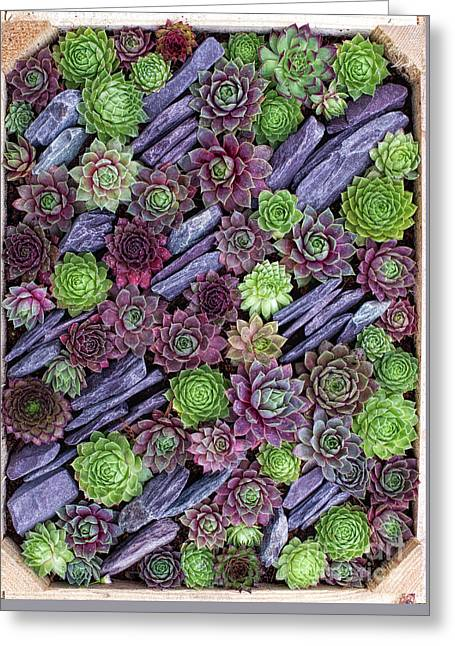 Sempervivums Pattern Greeting Card by Tim Gainey