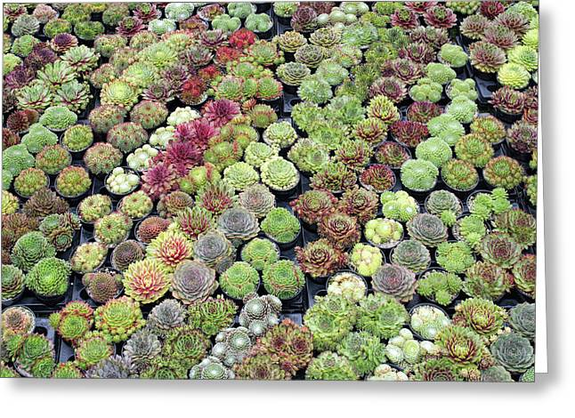 Sempervivums Greeting Card by Tim Gainey