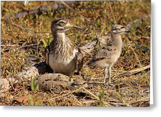 Senegal Greeting Cards - Senegal Thick-knee Greeting Card by Eric Woods/FLPA