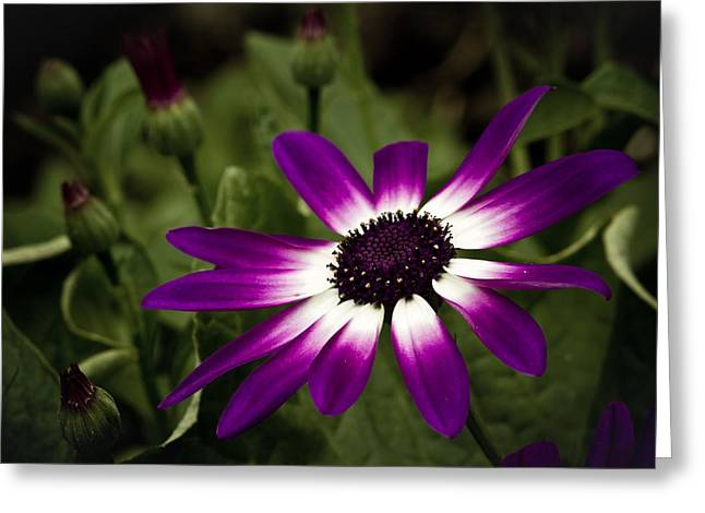 Pericallis Senetti Greeting Cards - Senetti Greeting Card by Chris Smith