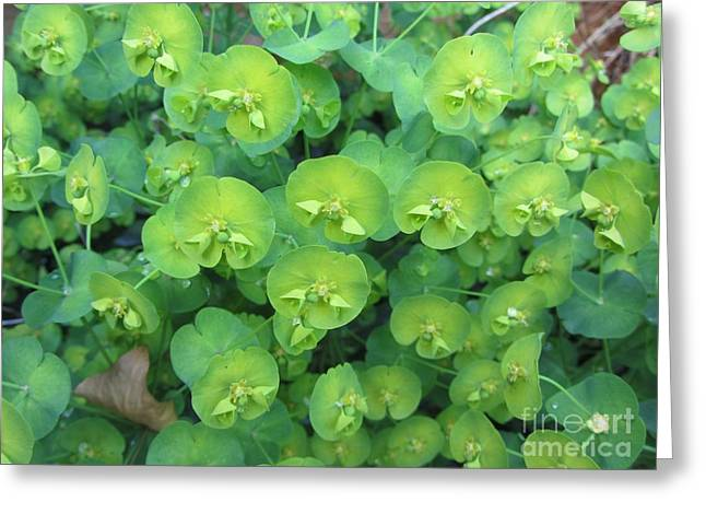 Nature Greeting Cards - Sense of Euphorbia Greeting Card by Jackie Tweddle