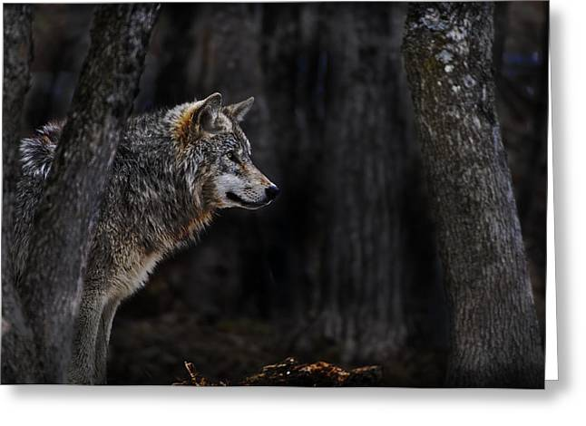 Black. Timber Wolf Photography Greeting Cards - Sentinel Greeting Card by Michael Cummings