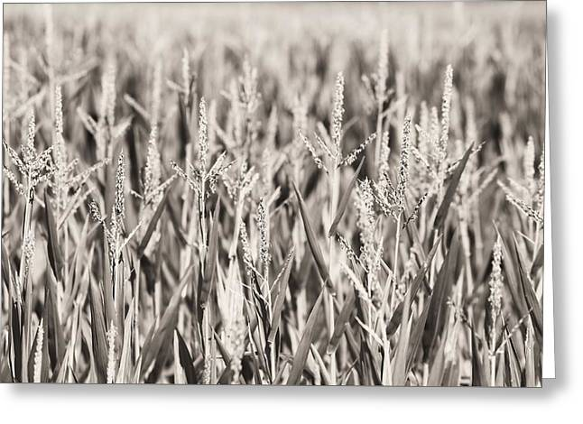 Corn Kernel Greeting Cards - Sepia Corn Field Greeting Card by Dan Sproul