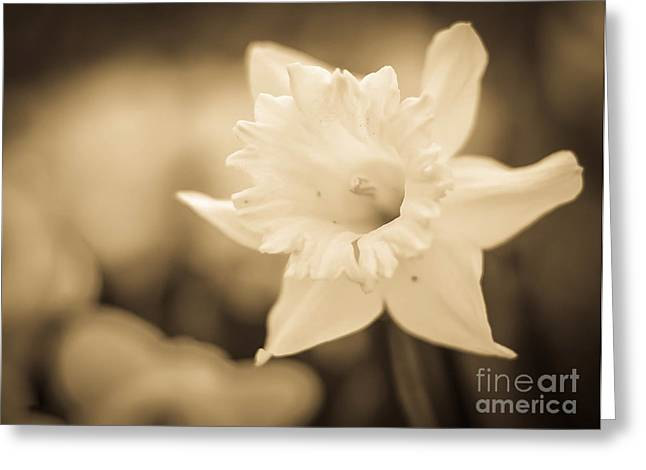 Sepia And Cream Greeting Cards - Sepia Daffodil  Greeting Card by Alissa Rosenberg