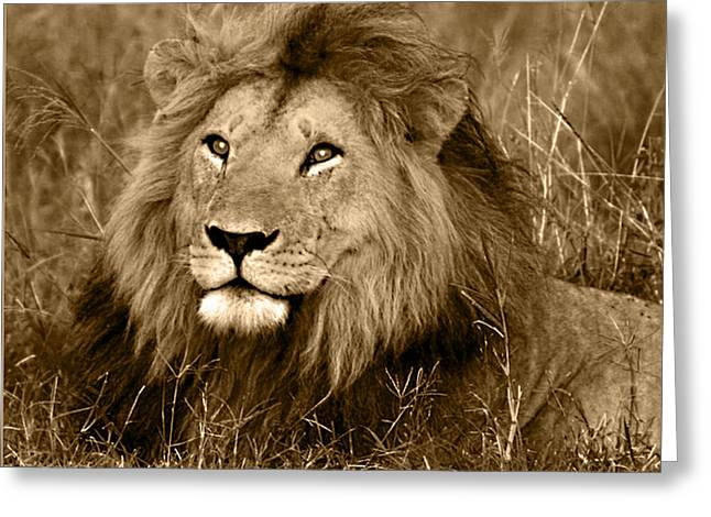 Lion Greeting Cards - Sepia Lion Greeting Card by Nancy D Hall