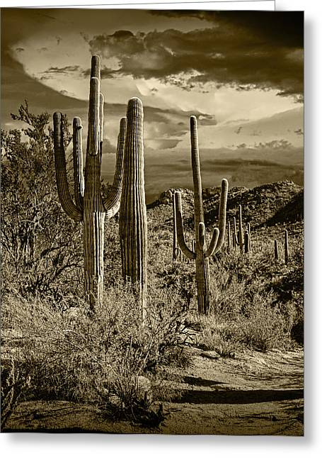 Brown Toned Art Greeting Cards - Sepia Toned Photograph of Saguaro Cactuses Greeting Card by Randall Nyhof