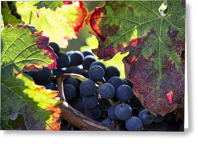 Grape Vines Greeting Cards - September Grapes - Square Greeting Card by Nomad Art And  Design