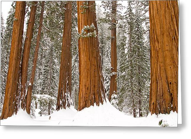 Snow Tree Prints Greeting Cards - Sequoias on the Big Trees Trails Greeting Card by Roland Rollinger
