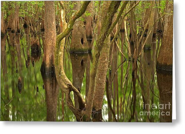 Manatee Springs Greeting Cards - Serenity In The Cypress Greeting Card by Adam Jewell