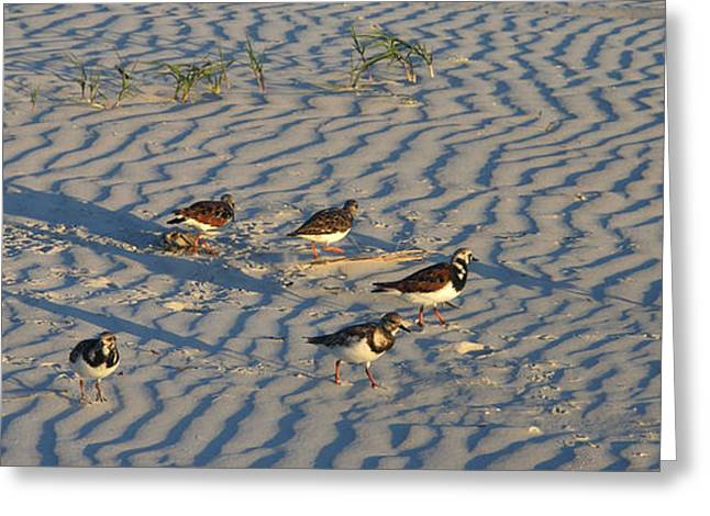 Seabirds Greeting Cards - Seven Sandpipers Greeting Card by Julianne Felton