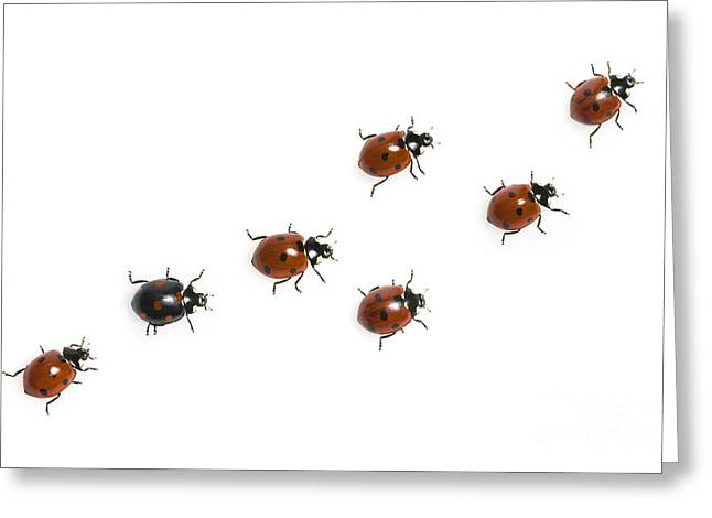 Seven-spotted Lady Beetles Greeting Card by Jean-Louis Klein & Marie-Luce Hubert