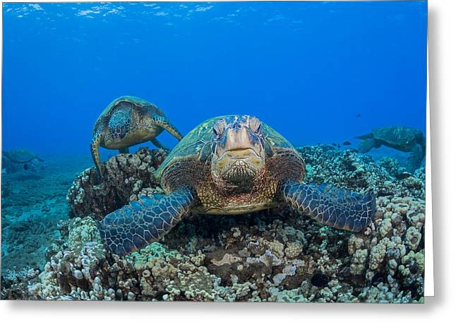 Full-length Portrait Greeting Cards - Several Green Sea Turtles  Chelonia Greeting Card by Dave Fleetham