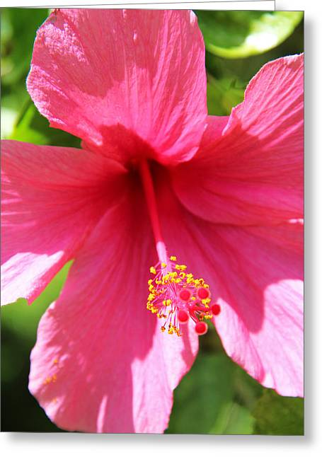 Kerri Ligatich Greeting Cards - Shades of Pink - Hibiscus Greeting Card by Kerri Ligatich