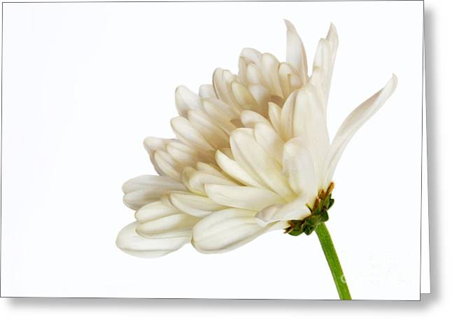 Fine Art Flower Photography Greeting Cards - Shades Of White Greeting Card by Dan Holm