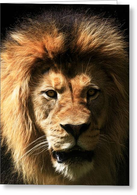 Lions Greeting Cards - Shadow King Greeting Card by Steve McKinzie