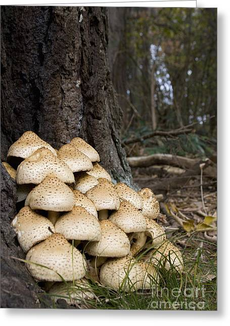 Shaggy Pholiota Greeting Card by Andrew Routh