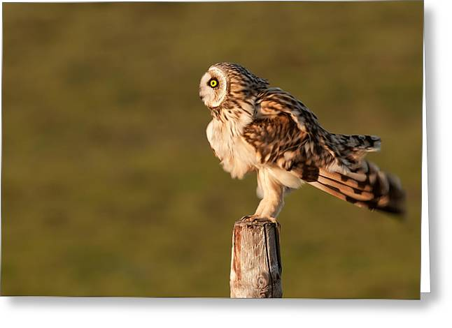 Owl Photography Greeting Cards - Shaking Short-eared Owl Greeting Card by Roeselien Raimond