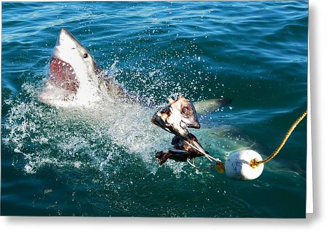 White Shark Photographs Greeting Cards - Shark Attack Greeting Card by Andrea Cavallini