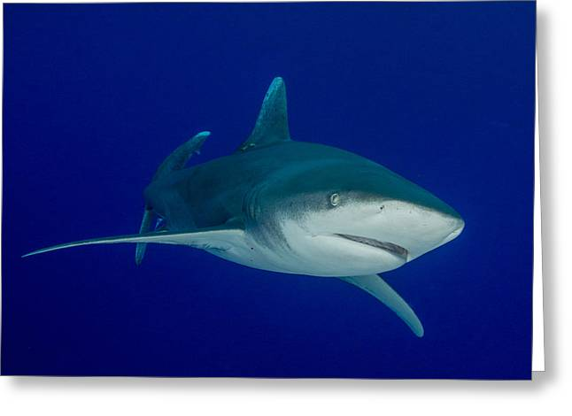 Snorkel Greeting Cards - Shark Beauty Greeting Card by Brent Barnes