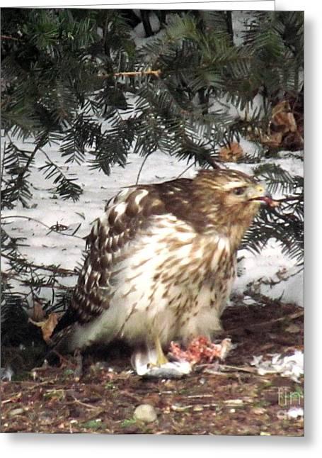 Bird Art Greeting Cards - Sharp Shinned Hawk Feeding on its Prey Greeting Card by Anthony Morretta